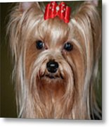 Headshot Of Show Yorkshire Terrier Metal Print