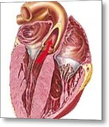 Heart Anatomy, Artwork Metal Print by Science Photo Library
