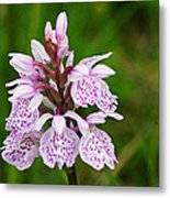 Heath Spotted Orchid Metal Print