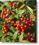 Heavenly Bamboo Red Berries Metal Print