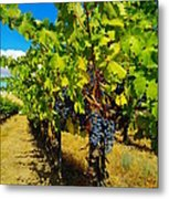 Heavy On The Vine At The High Tower Winery  Metal Print