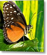 Hecale Longwing Butterfly Metal Print