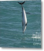 Hector Dolphin Diving Metal Print