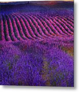 Height Of The Bloom Rolling Lavender Fields Metal Print