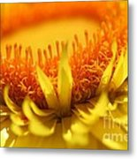 Helichrysum Bracteatum Named Strawburst Yellow Metal Print