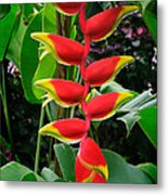 Heliconia Rostrata 2 - A Blooming Heliconia Rostrata Flower Metal Print