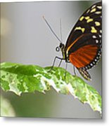 Heliconius Butterfly On Green Leaf Metal Print