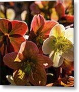 Helleborus Backlight Blossoms Metal Print
