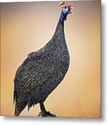 Helmeted Guinea-fowl Perched On A Rock Metal Print