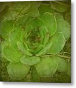 Hen And Chicks Plant Metal Print