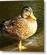 Hen Mallard Duck Metal Print