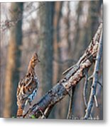 Hen Ruffed Grouse On Roost Metal Print