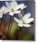 Hepatica White Wildflower Metal Print