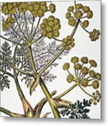 Herbal: Fennel, 1819 Metal Print