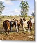 Herd Of Brahman Cattle In Outback Queensland Metal Print