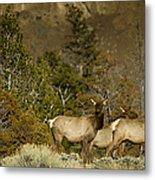 Herd Of Cow Elk   #7672 Metal Print