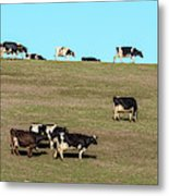 Herd Of Cows Grazing On A Hill, Point Metal Print