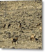 Herd Of Elk   #3218 Metal Print