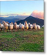 Herd Of Sheep In The Sunset Metal Print