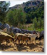 Herd Of Sheep In Tuscany Metal Print