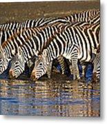 Herd Of Zebras Drinking Water Metal Print