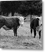 Hereford Portrait V In Black And White Metal Print by Suzanne Gaff