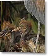 Heron Chicks Metal Print