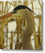 Heron Close Up Metal Print