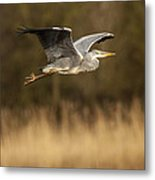Heron In Flight Metal Print by Simon West
