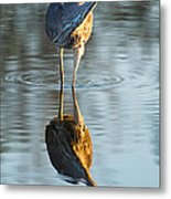 Heron Looking At Its Own Reflection Metal Print
