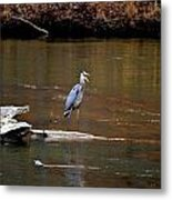 Heron Talking Metal Print