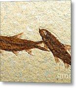 Herring Fish Fossil Metal Print
