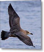 Herring Gull In Flight Photo Metal Print