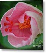 Hibiscus Flower Blooming Metal Print