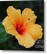 Hibiscus Flower In Puerto Rico Metal Print