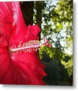 Hibiscus - Lord Baltimore Metal Print