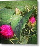 Hibiscus Read To Bloom Metal Print