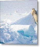 Hide And Seek, Ursus Maritimes, Fulmars Metal Print