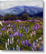 High Country Lupine Dreams Metal Print