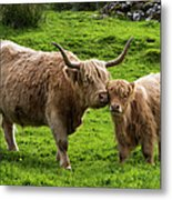 Highland Cattle And Calf Metal Print