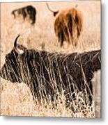 Highland Cattle Metal Print
