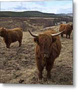 Highland Cattle Gang Metal Print