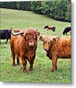 Highland Cattle Metal Print