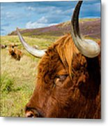 Highland Cattle On Scottish Pasture Metal Print