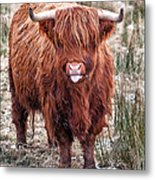 Highland Coo With Tongue Out Metal Print by John Farnan