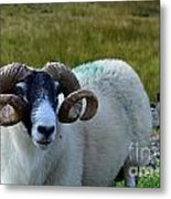 Highland Sheep Metal Print