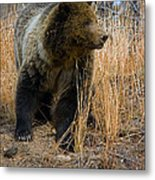 Hillside Grizzly Metal Print