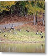 Hillside Of Canadian Geese Metal Print