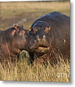 Hippo Cow And Calf Metal Print