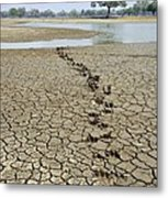Hippo Footprints Metal Print